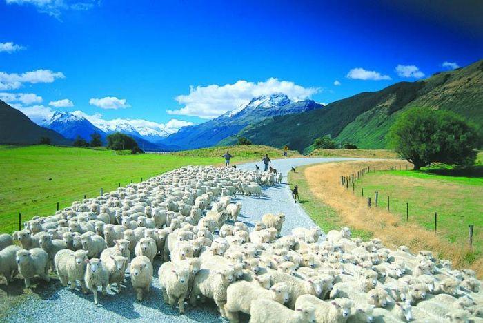 Австралия прекрасная страна, и о ней можно рассказать много интересных фактов. Итак,, самые интересные факты об австралии, овцы овцеводство