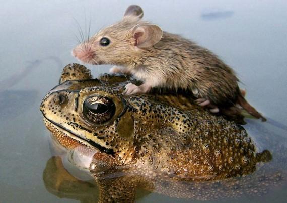 Факты о мышах, самые интересные факты о мышах, мыши, животные, факты, крысы бегут с корабля