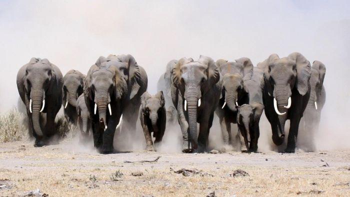 Слоны - самые крупные млекопитающие животные на планете. Самые интересные факты о слонах. Стадо слонов может быть очень многочисленным