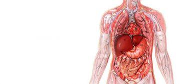 В результате эволюции человеческого организма многие органы потеряли свои былые функции. Теперь это просто Лишние органы в нашем организме.