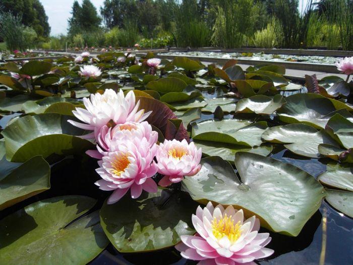Самые интересные факты о Китае. Лотос - священный цветок в Китае.
