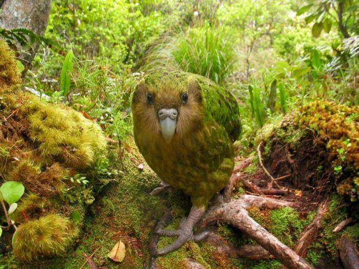Какапо или совиный попугай, птица получила за свою схожесть с попугаем и совой. Обитает какапо, исключительно на одном из островов в Новой Зеландии. В лесу фотография
