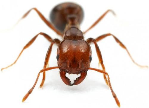 Самые интересные факты о муравьях. Муравьи - невероятные насекомые. Огненный муравей