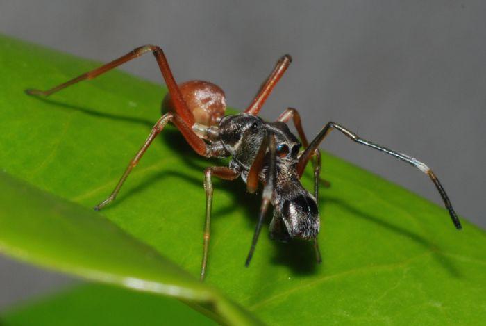 Самые интересные факты о муравьях. Самый хитрый паук. Темнолапый муравьиный паук (Myrmarachne melanotarsa) выглядит в точности как муравей.