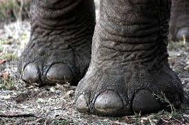 Слоны - самые крупные млекопитающие животные на планете. Самые интересные факты о слонах. Нога слона