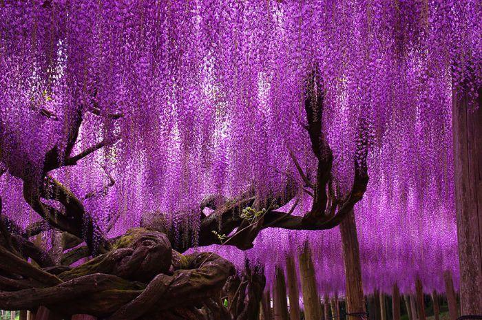 А в Японии растет самая старая глициния, которой аж 144 года!!