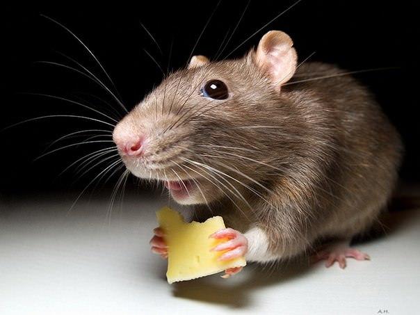 Факты о мышах, самые интересные факты о мышах, мыши, животные, факты
