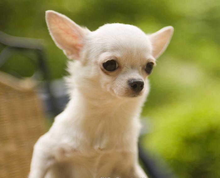 собака Чихуахуа миниатюрная маленькая