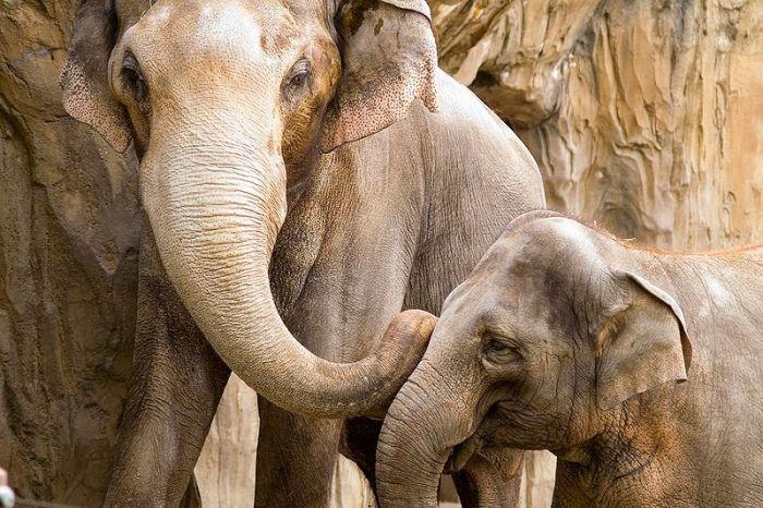 Слоны - самые крупные млекопитающие животные на планете. Самые интересные факты о слонах. Слоны могут общаться как и дельфины