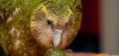 Какапо или совиный попугай, птица получила за свою схожесть с попугаем и совой. Обитает какапо, исключительно на одном из островов в Новой Зеландии.