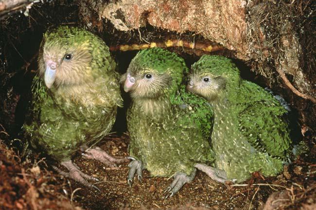 Какапо или совиный попугай, птица получила за свою схожесть с попугаем и совой. Обитает какапо, исключительно на одном из островов в Новой Зеландии. Птенцы какапо
