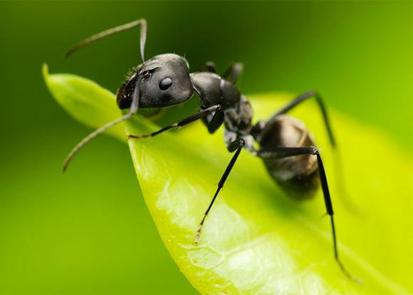 Самые интересные факты о муравьях. Муравьи - невероятные насекомые. муравьи - наши помощники и чистильщики любой экосистемы