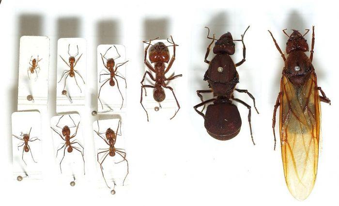 Самые интересные факты о муравьях.  У муравьев каждый занят своим делом. Четкая иерархия. Есть рабочие, войны, фуражеры, самка - или матка