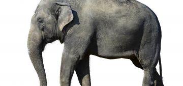 Слоны - самые крупные млекопитающие животные на планете. Самые интересные факты о слонах.