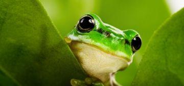Одной из самых удивительных, обитающих на земле амфибий по праву считается лягушка. Самые интересные факты о лягушках и жабах