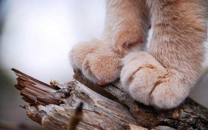 Кошка - удивительное домашнее животное, приносящее много радости и счастья. Узнаем самые интересные факты о кошках. Потовые железы кошек находятся только на подушечках лап