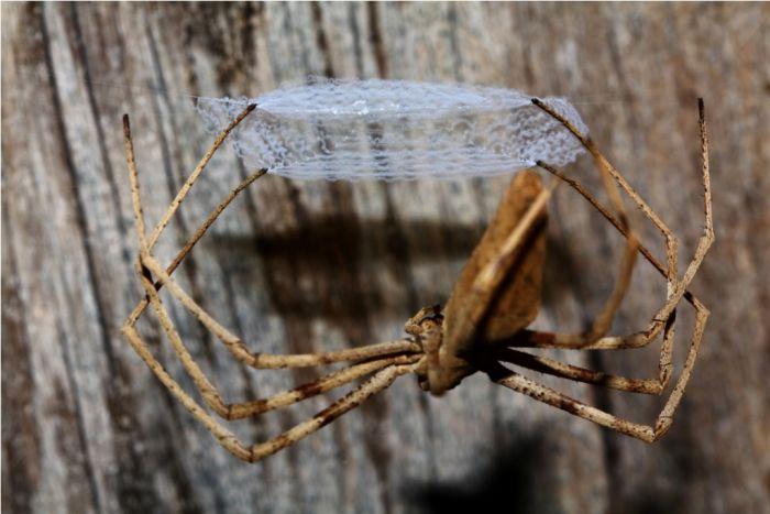 Паук-гладиатор плетет квадратную паутину