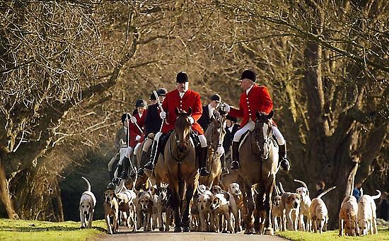В Англии до сих пор еще пополярен традиционный вид охоты — Охота на лис.
