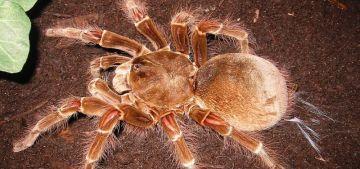 самый большой паук в мире терафоза Блонда. Его еще называют птицеедом. Взрослая особь достигает в длину 9 сантиметров, а размах лап - 25 сантиметров.