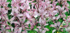 Это травянистое растение, Неопалимая Купина открывает миру прекрасные цветы, которые так и хочется понюхать. И делать этого ни в коем случае нельзя!