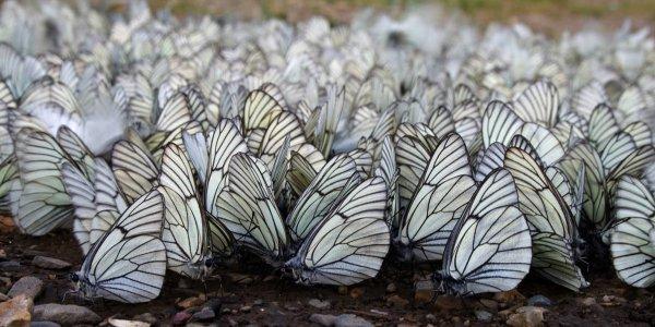 Несмотря на свою недолгую продолжительность жизни, бабочки успевают отложить около 1000 яиц.