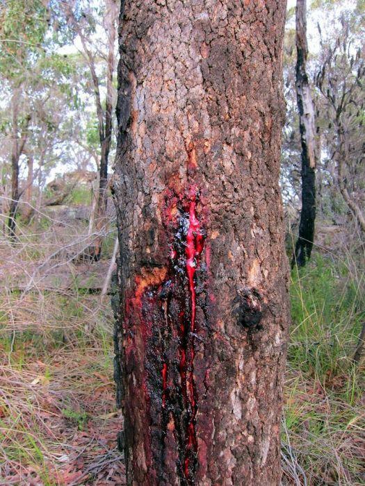Pterocarpus angolensis - это тиковое дерево, произрастающее в южной части Африки. Кровоточащее дерево, дерево из которого идет кровь. Вместо воды из дереза идет кровь