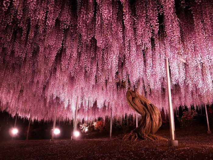 Эта глициния занимает 1990 квадратных метров и является самым большим представителем своего вида в Японии.
