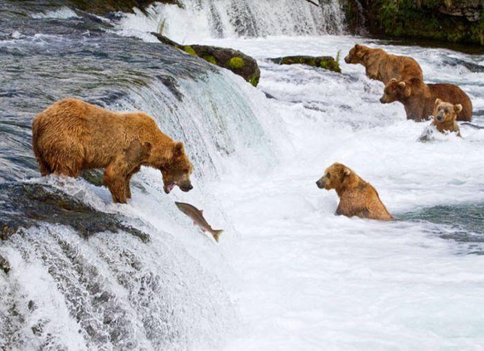 Такой же богатый и разнообразный и животный мир Канады. В лесах водятся бурые и черные медведи, волки, рыси, лисы и койоты.
